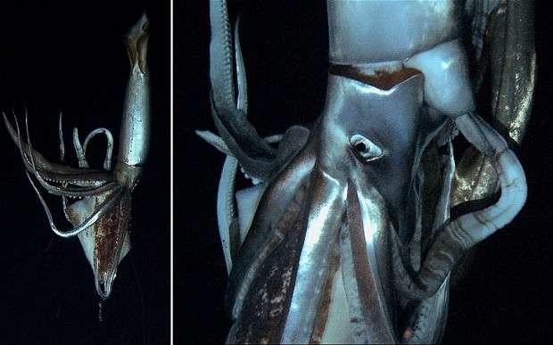 Calamar Gigante en el Océano Pacifico